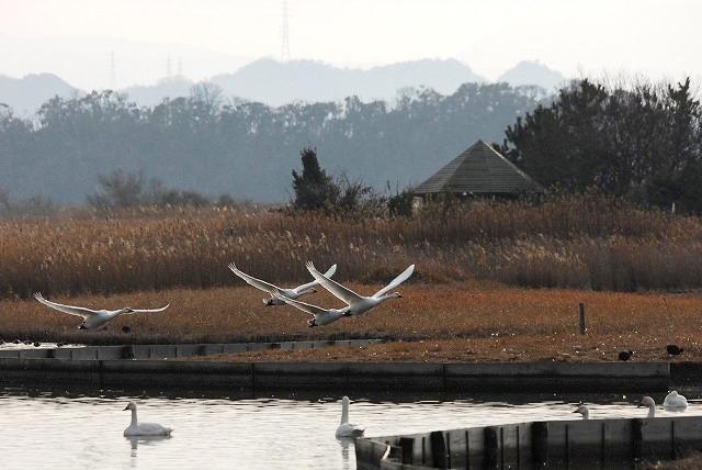 水鳥公園の白鳥26