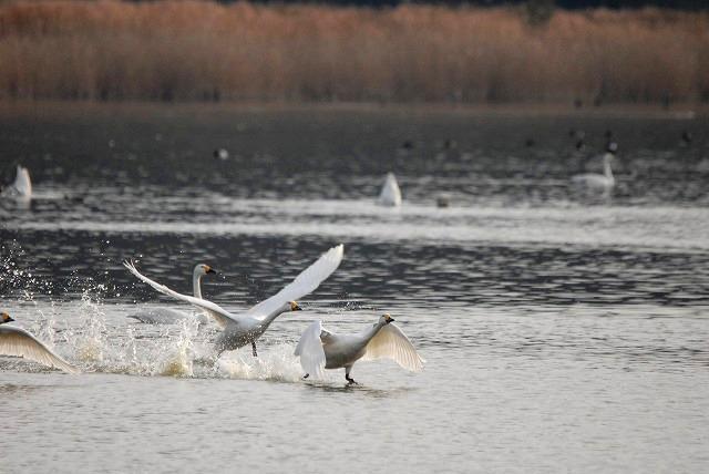 水鳥公園の白鳥27