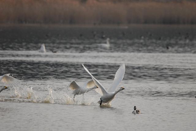 水鳥公園の白鳥28