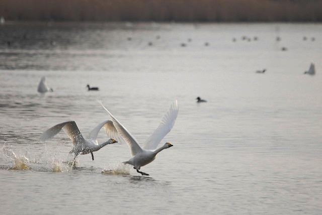 水鳥公園の白鳥29
