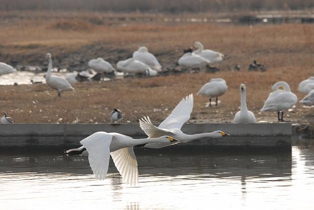 水鳥公園の白鳥30