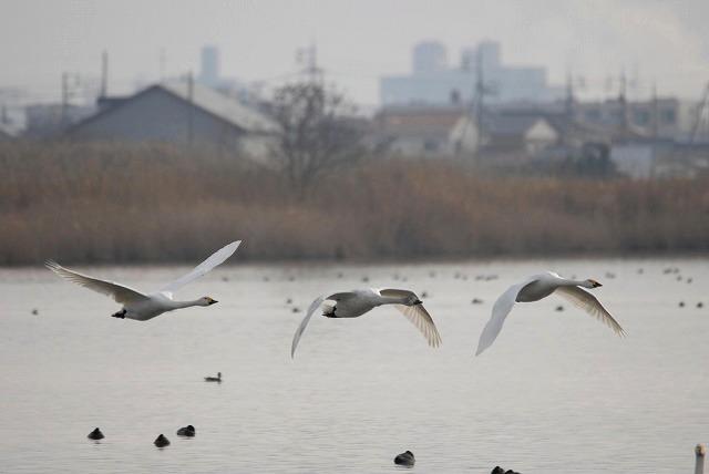 水鳥公園の白鳥31