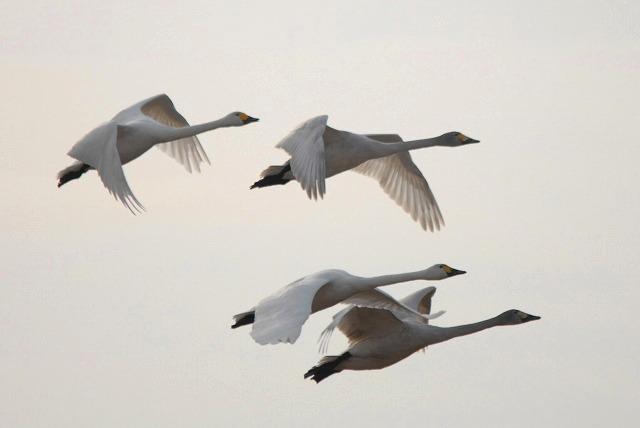 水鳥公園の白鳥33