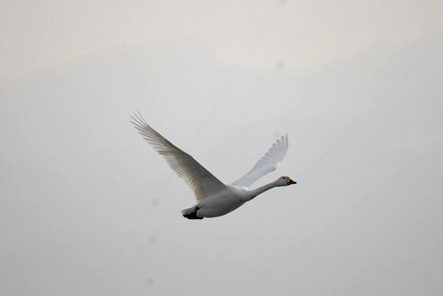 水鳥公園の白鳥34