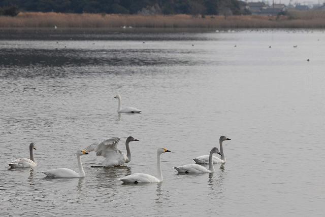 水鳥公園の白鳥35