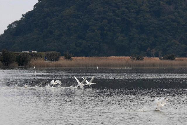 水鳥公園の白鳥36
