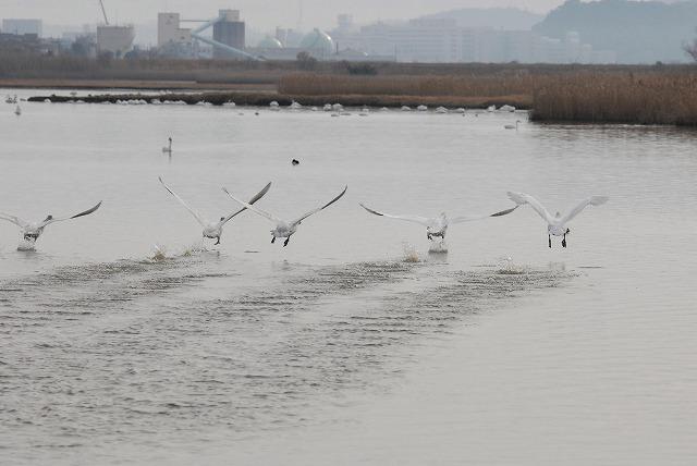 水鳥公園の白鳥37