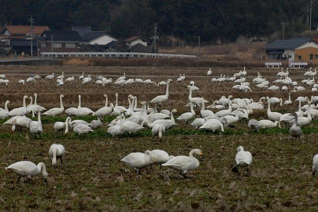 白鳥ロードの白鳥1