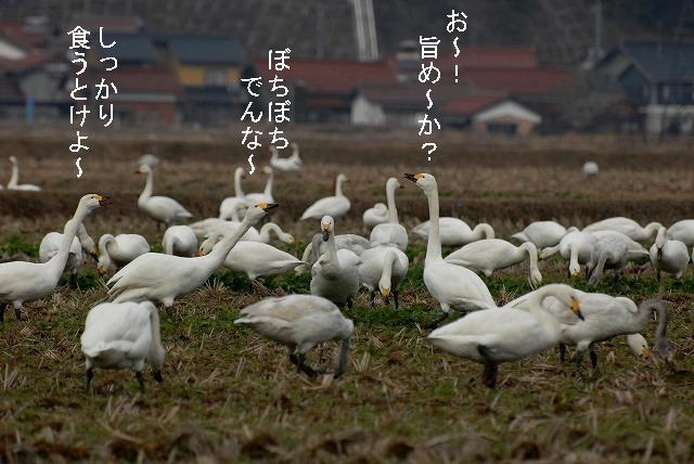 白鳥ロードの白鳥2