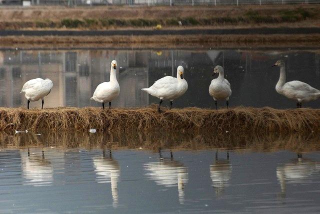 白鳥ロードの白鳥4