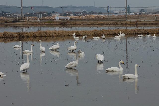 白鳥ロードの白鳥5