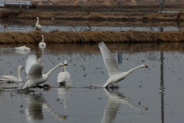 白鳥ロードの白鳥7