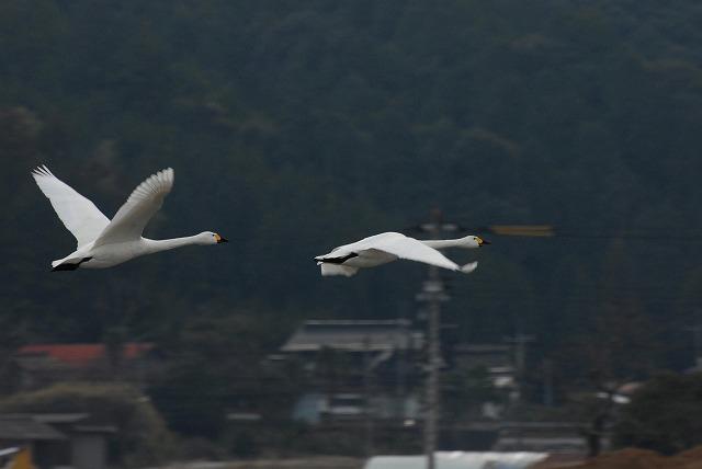 白鳥ロードの白鳥8