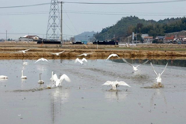 白鳥ロードの白鳥9