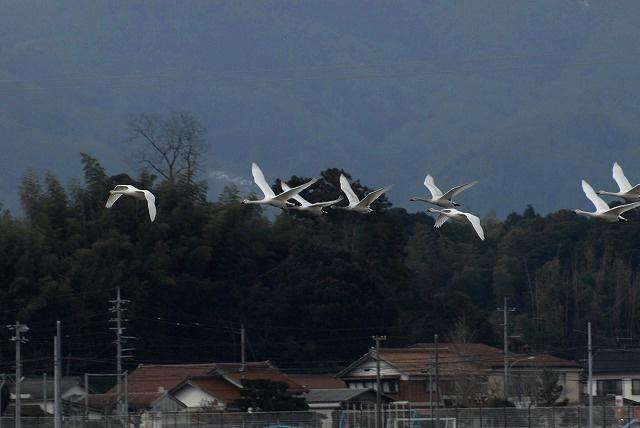 白鳥ロードの白鳥10