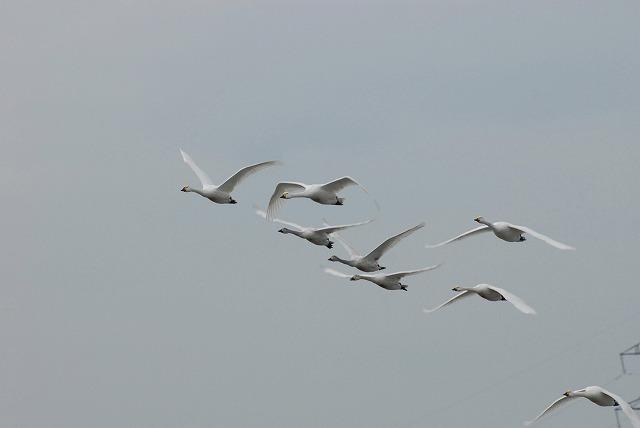 白鳥ロードの白鳥11