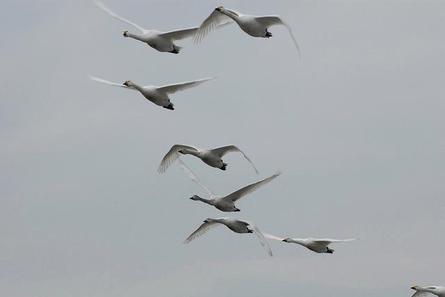 白鳥ロードの白鳥12