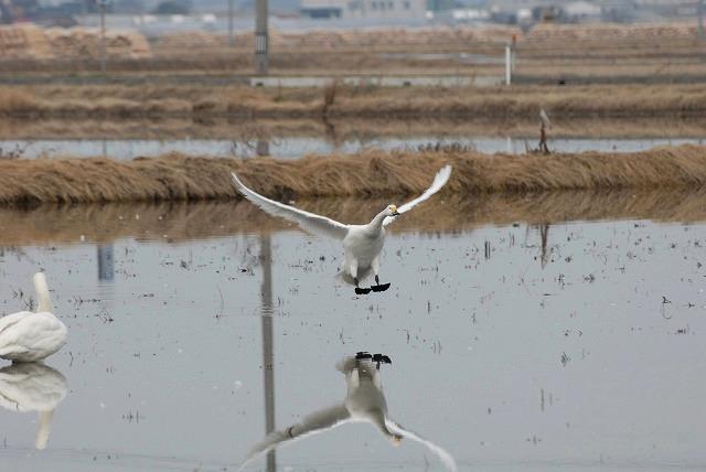白鳥ロードの白鳥13