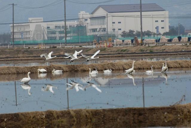 白鳥ロードの白鳥14