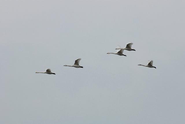 白鳥ロードの白鳥15