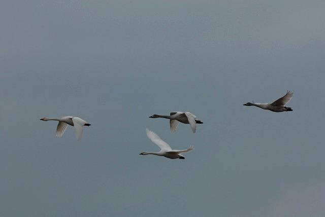 白鳥ロードの白鳥16