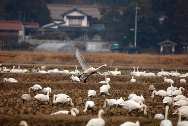白鳥ロードの白鳥18
