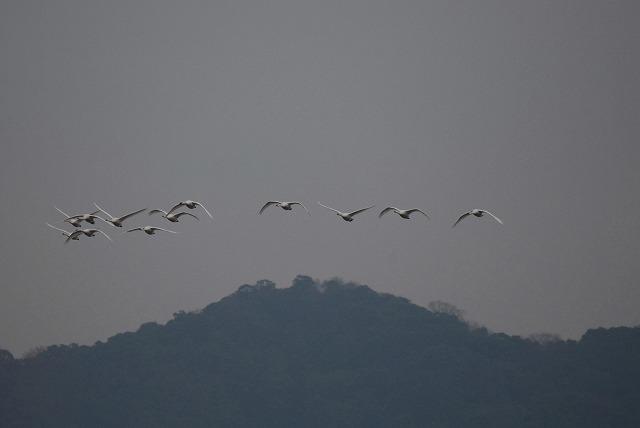 白鳥ロードの白鳥19