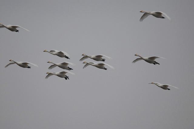 白鳥ロードの白鳥20