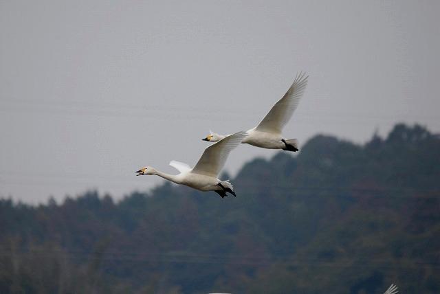 白鳥ロードの白鳥21