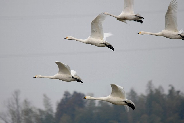 白鳥ロードの白鳥22
