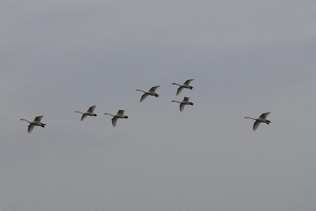 白鳥ロードの白鳥24