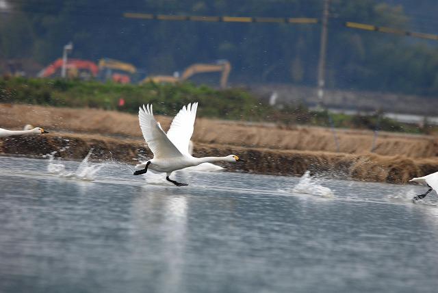 白鳥ロードの白鳥25