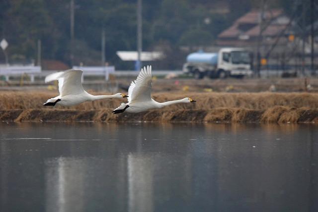 白鳥ロードの白鳥26
