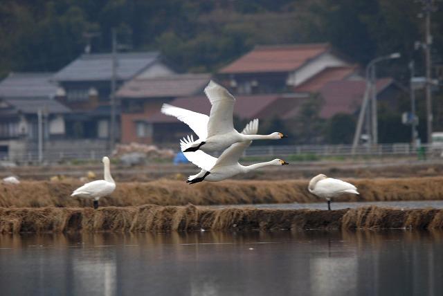 白鳥ロードの白鳥27
