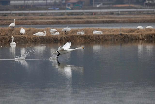 白鳥ロードの白鳥28