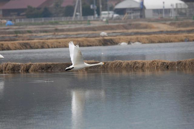 白鳥ロードの白鳥29