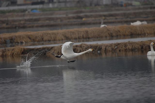 白鳥ロードの白鳥30