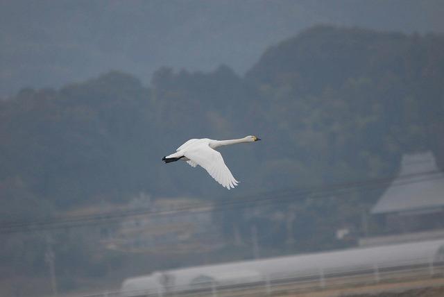 白鳥ロードの白鳥31