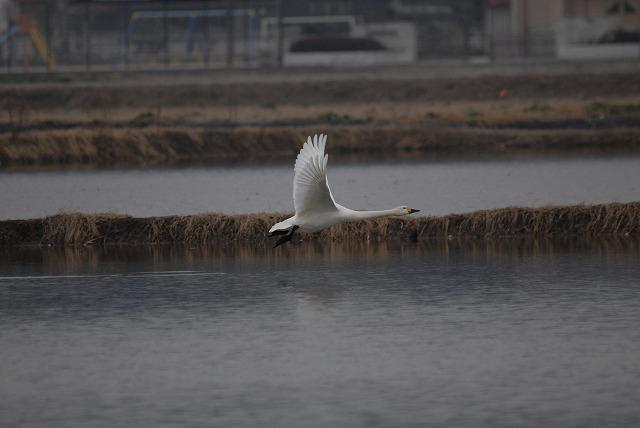 白鳥ロードの白鳥32