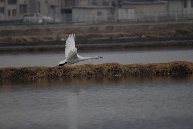 白鳥ロードの白鳥33