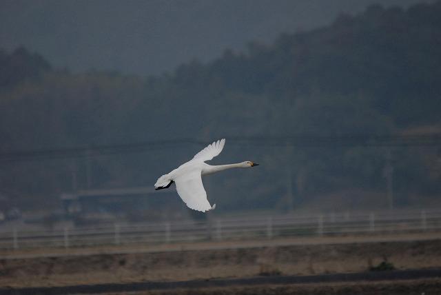 白鳥ロードの白鳥34