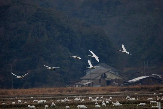 白鳥ロードの白鳥35