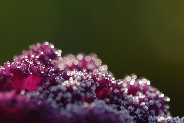 葉ボタンの霜1