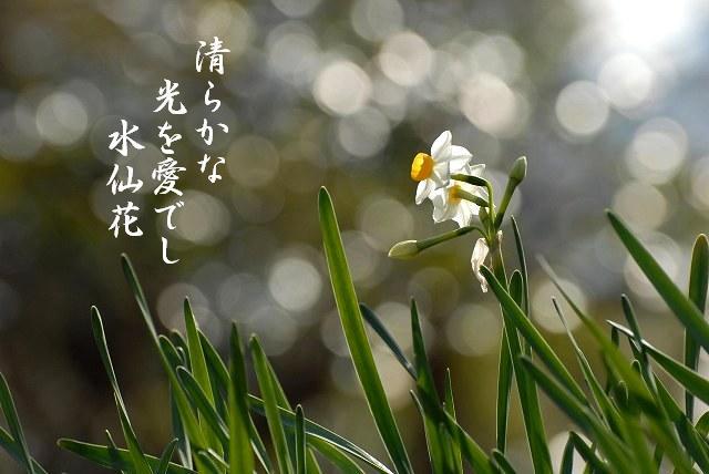 日本水仙8