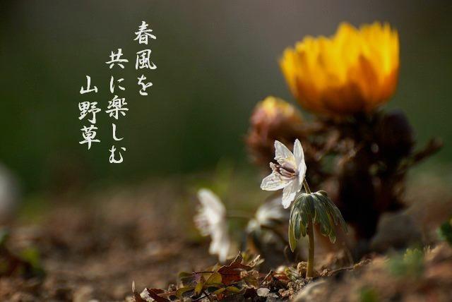 福寿草と節分草1