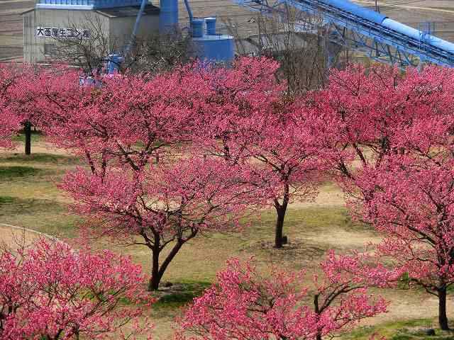 神崎梅園の梅3
