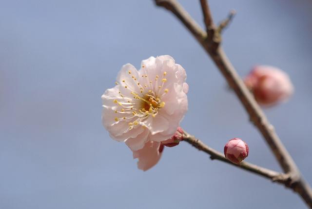 神崎梅園の梅1