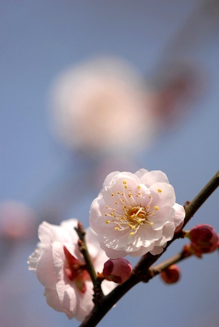 神崎梅園の梅2