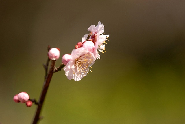 神崎梅園の梅4