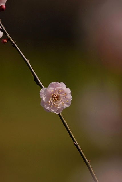 神崎梅園の梅5